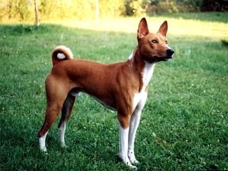Basenji | Basenji Dog Breed Information | Basenji | Pinterest ...