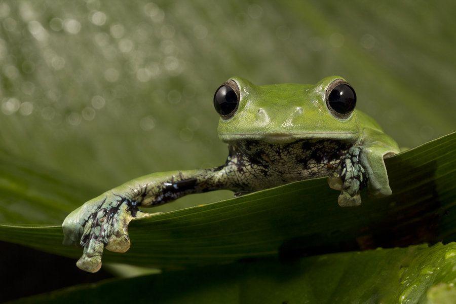 Norhayati's Gliding Frog 2 by AngiWallace on DeviantArt