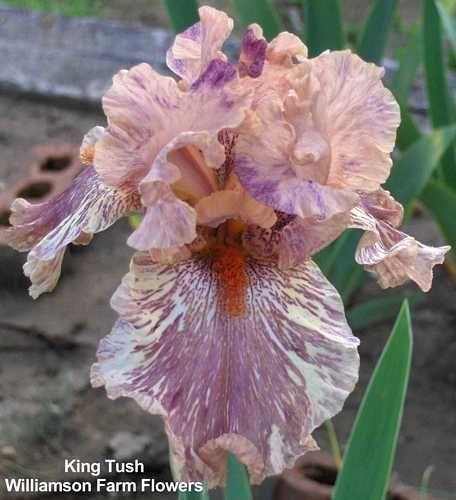King Tush Bearded Iris Iris Flowers