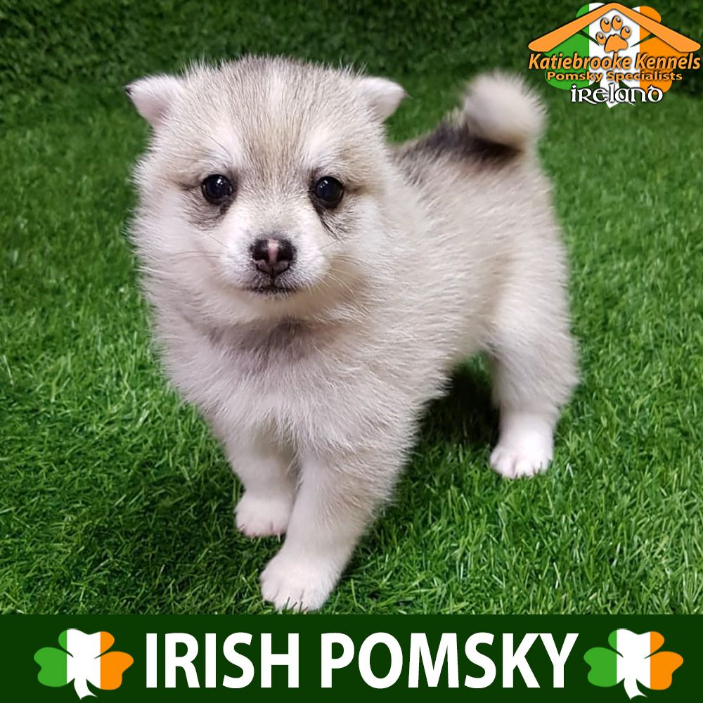Pin On Grey And White Pomsky For Sale