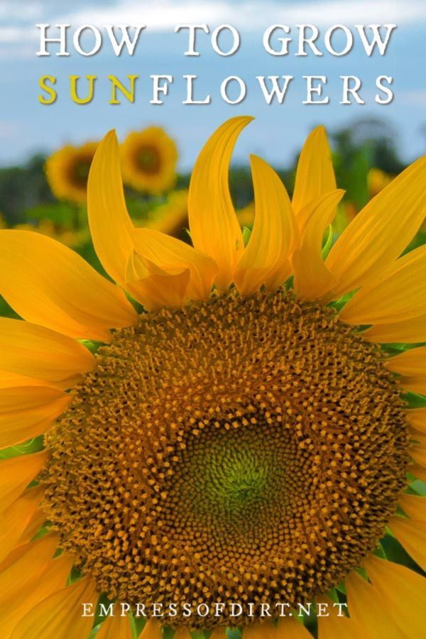 How To Grow Sunflowers And What To Avoid Empress Of Dirt Growing Sunflowers Companion Gardening Plants