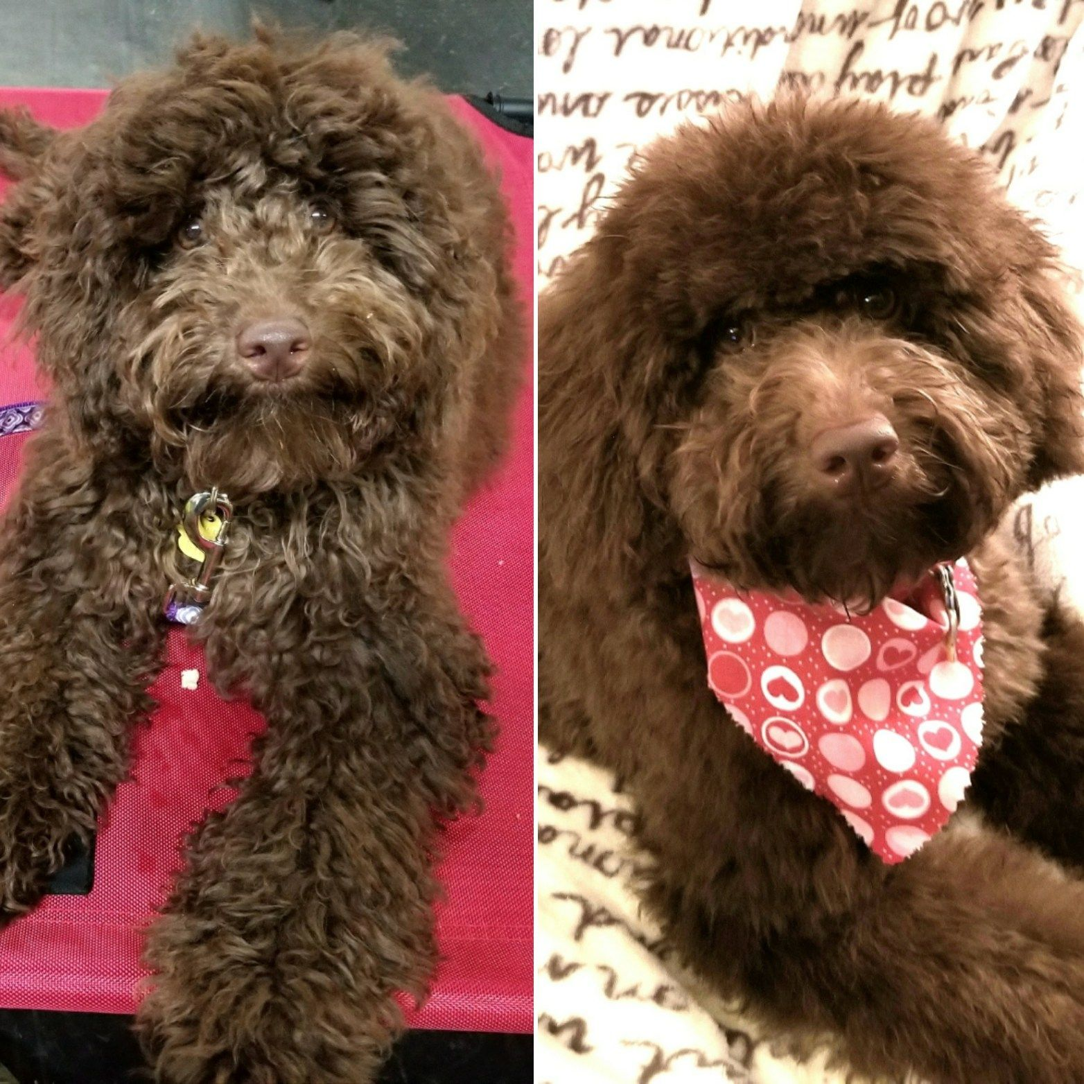 Mini Aussiedoodle Goose Before And After Her First Groom