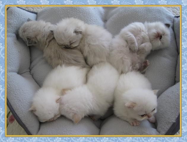 Himalayan Kittens For Sale Karistakats Com New Jersey With Images