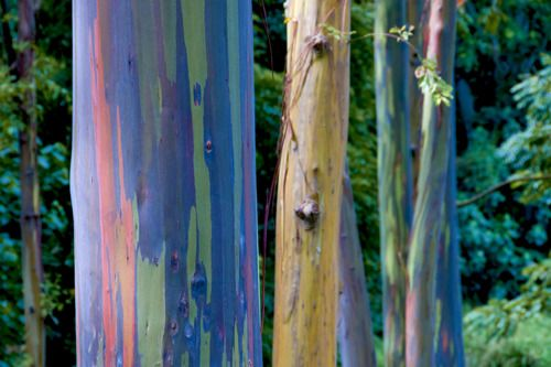 Maui Must See Painted Bark Eucalyptus Trees Road To Hana Naturally Occurring Mile Marker 7 Highway