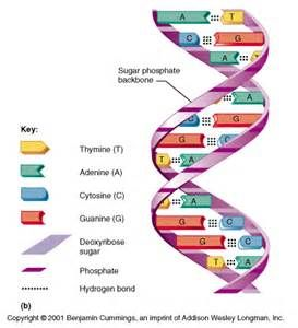 dna 3d model diagram yahoo image search results craft