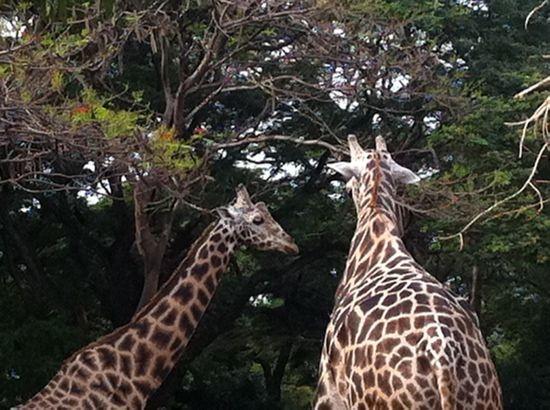bef658310e8067790936bb9104991768 - Mysore Zoo Sri Chamarajendra Zoological Gardens