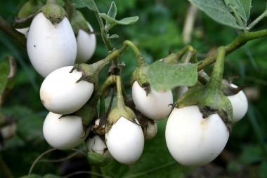 La melanzana bianca