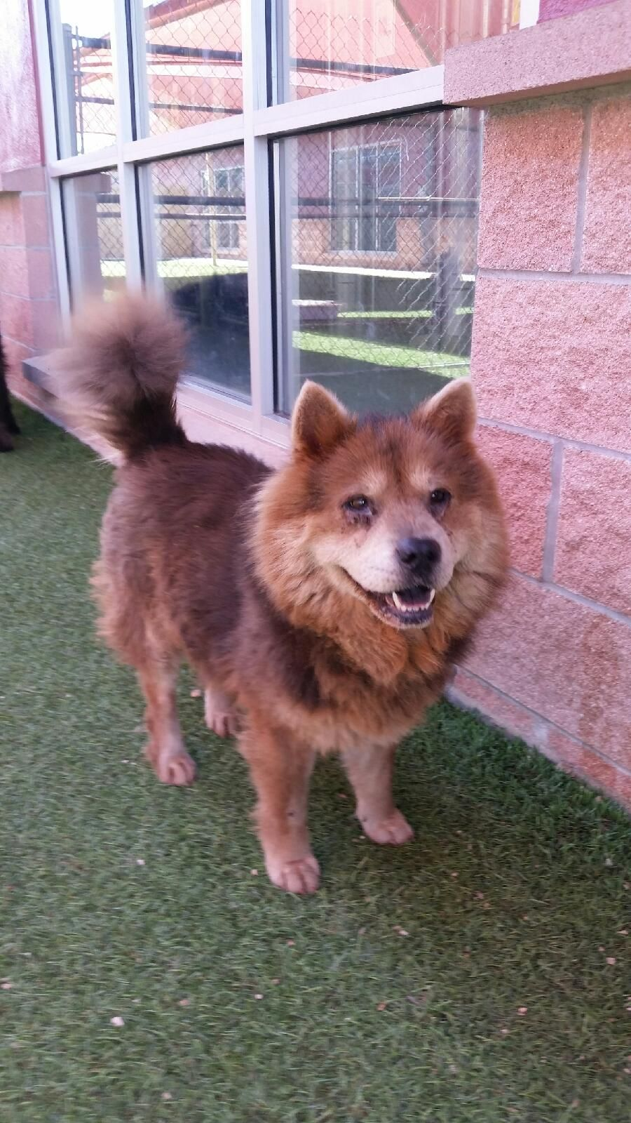 Chow Chow Dog For Adoption In San Antonio Tx Adn 544320 On