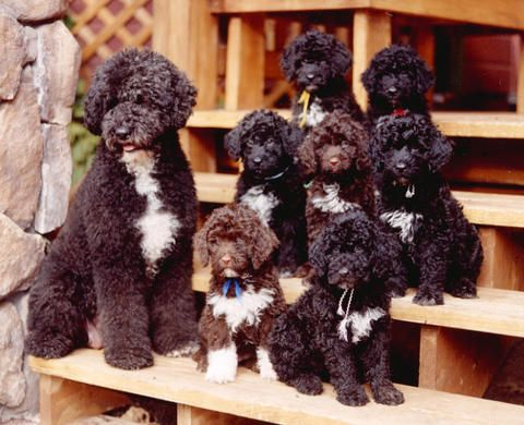 Omg Puppy Love Portuguese Water Dogs Portuguese Water Dog Water Dog Portugese Water Dogs
