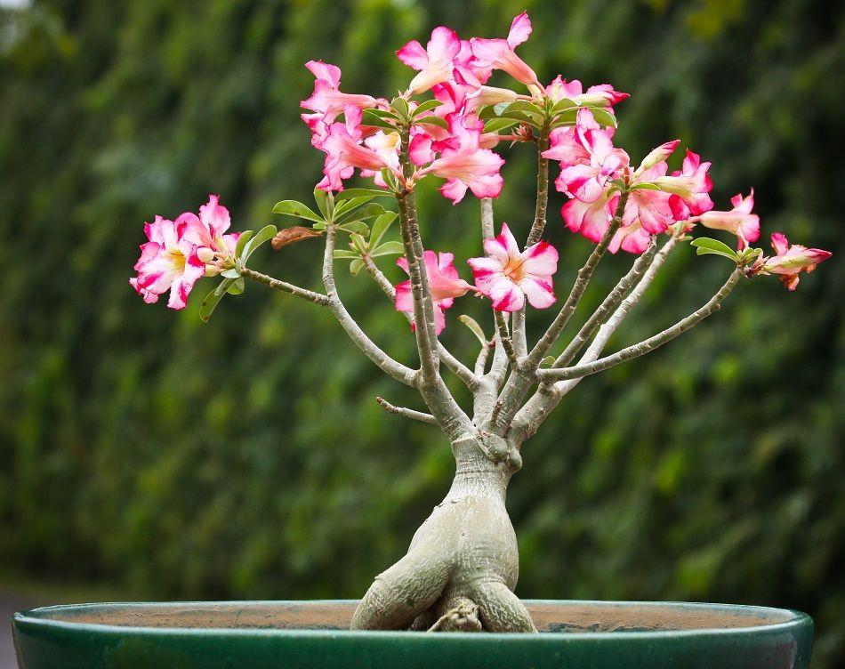 Desert Rose Plant List Of Types With Care Instructions Pictures Desert Rose Plant Planting Roses Desert Rose