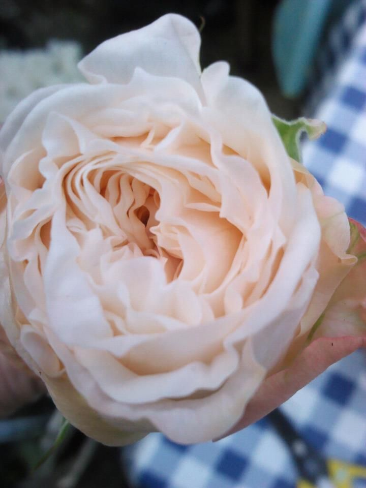 The stunning bombastic rose possibly for bride bouquet for Flower sprays for weddings