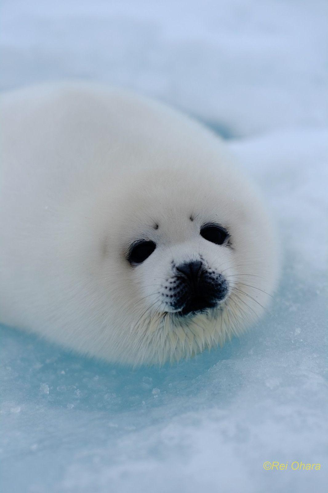 画像 : 【白い】まるで大福もち!!冬仕様の動物画像まとめ【もふもふ】 - NAVER まとめ