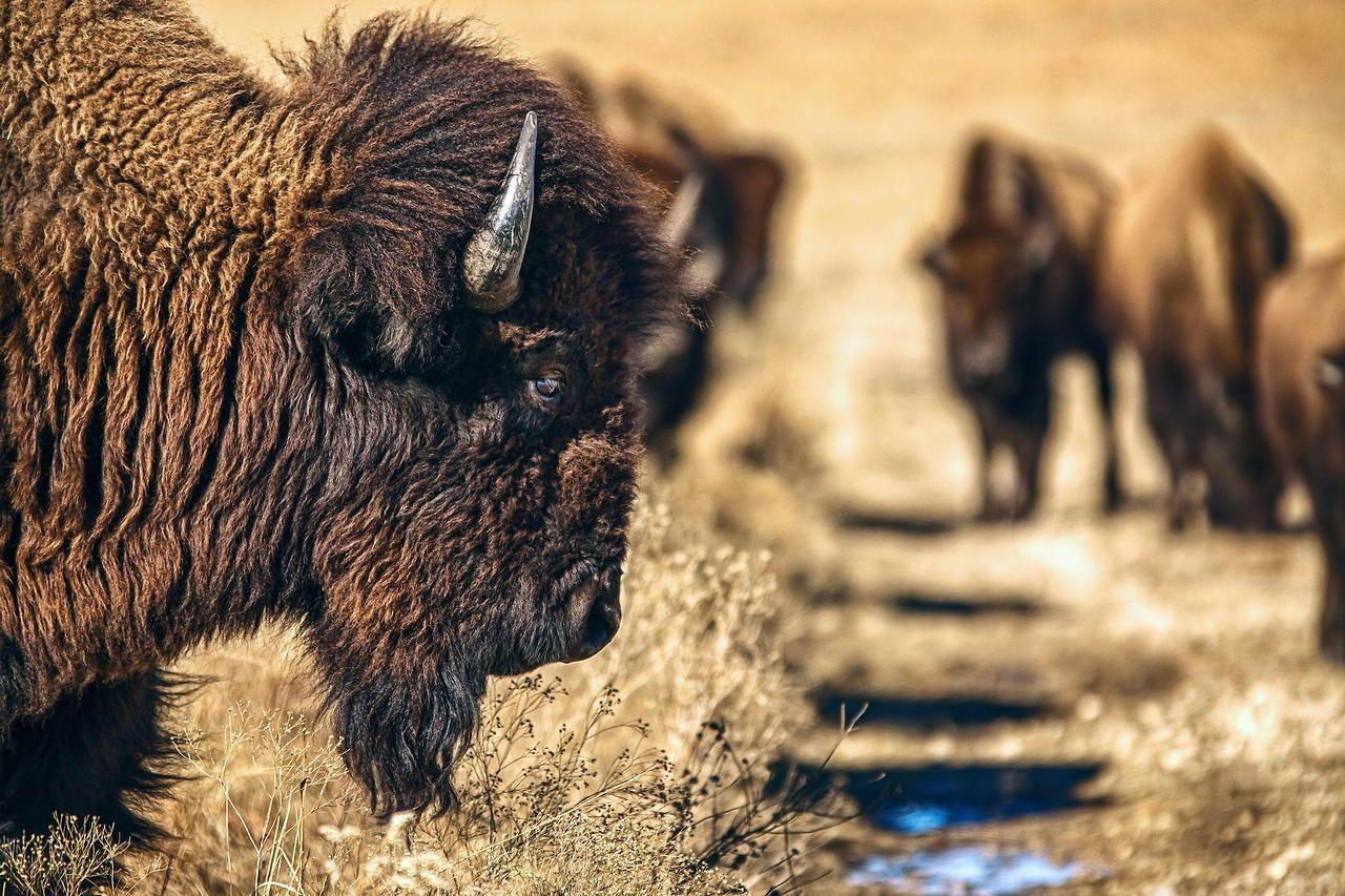 Prairie Bison by Jeff Rumans