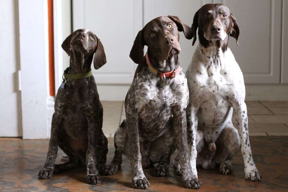 Love my GSP!!  She is even prettier than any of these if you can imagine!  Great dogs as long as they get lots of time to run untethered!