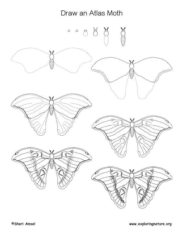 Moth (Atlas) Drawing Lesson
