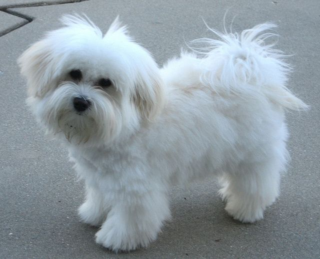 Toby S Choppy Haircut Havanese Haircuts Havanese Puppies