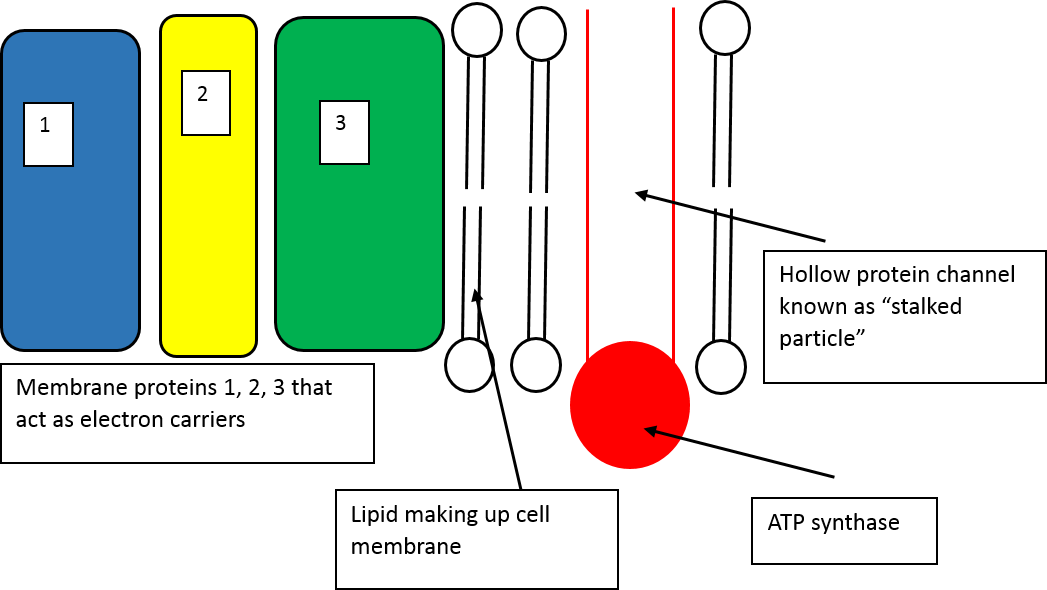 Respiration a level biology electron transport chain activities part of a series of diagrams and activities for teaching about the electron transport chain ccuart Image collections