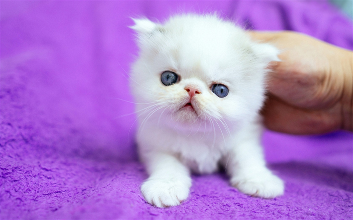 Download wallpapers white fluffy kitten, small cute