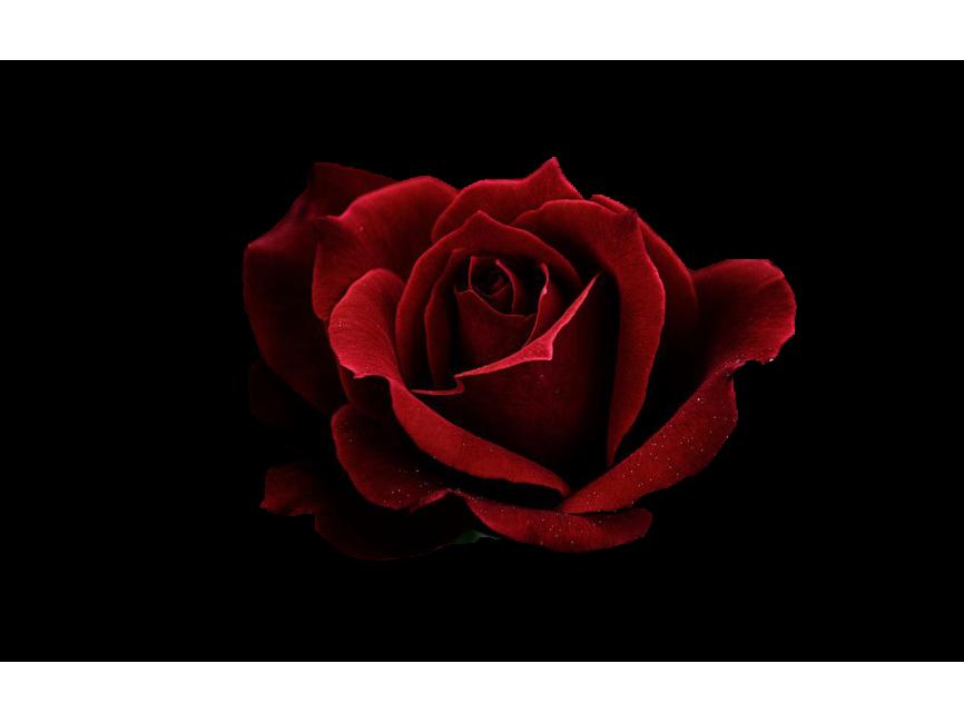 Red Rose Transparent PNG Image - Freepngimage.com | Red rose png, Red roses, Rose