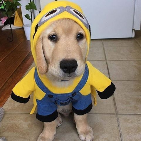 Pure Cuteness Mydreamygolden Golden Retriever Halloween Costume