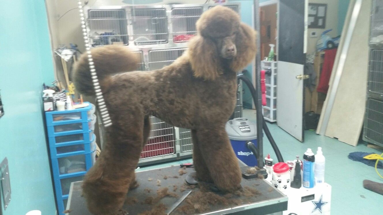 Pin By Myra Macias On Colors Poodle Animals Dogs