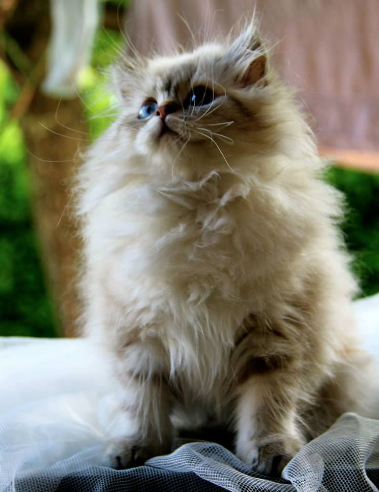 British Longhair Pretty cats, Baby cats, Cute little animals