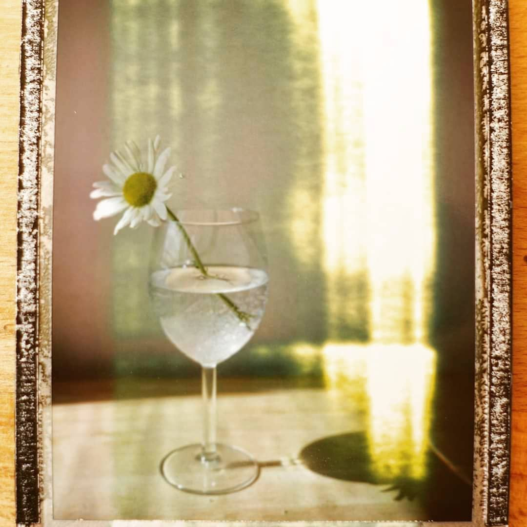 #daisy #packfilm #peelapart #peelapartfilm #polaroid #fujifilm #flower #instantcamera #analoguephoto #analogue #lomography #filmphotographic