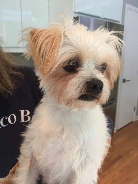 Maltese and Shih Tzu mixed Dog for Adoption in Fairfax