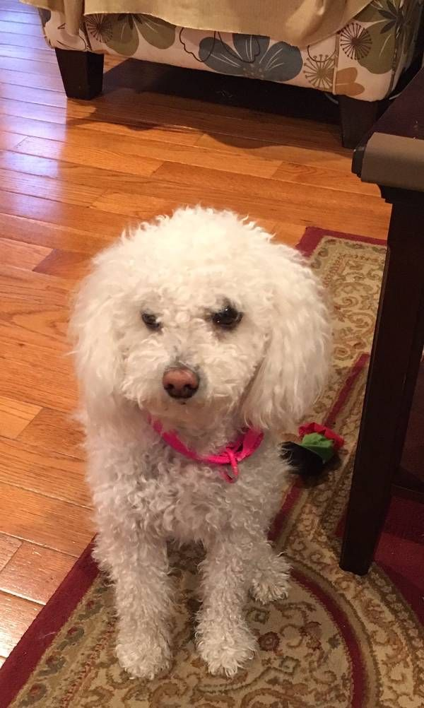 Lost Dog Poodle In Stamford Ct Lostmydoggie Com Losing A Dog Dogs Poodle