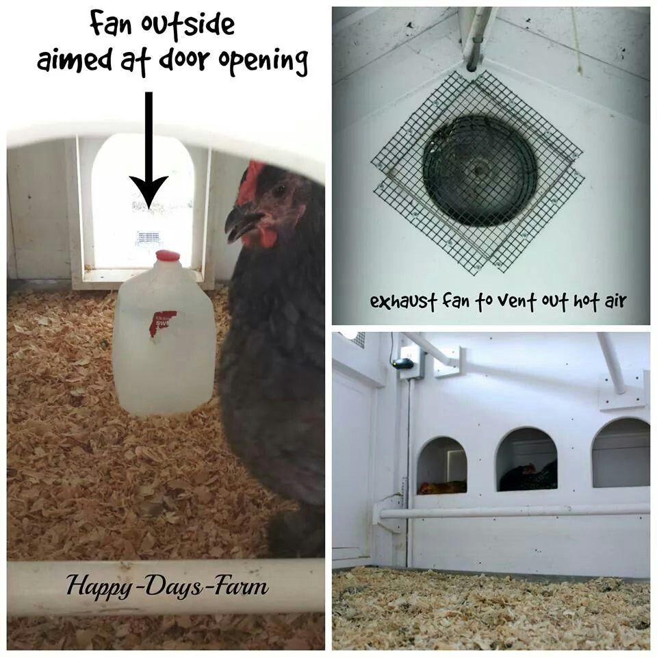 Helpful tips for hens n chicks Happy day farm, Chickens