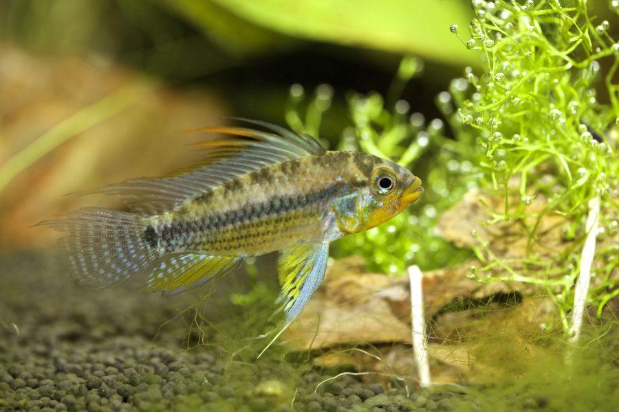 Midget suckermouth catfish love fill