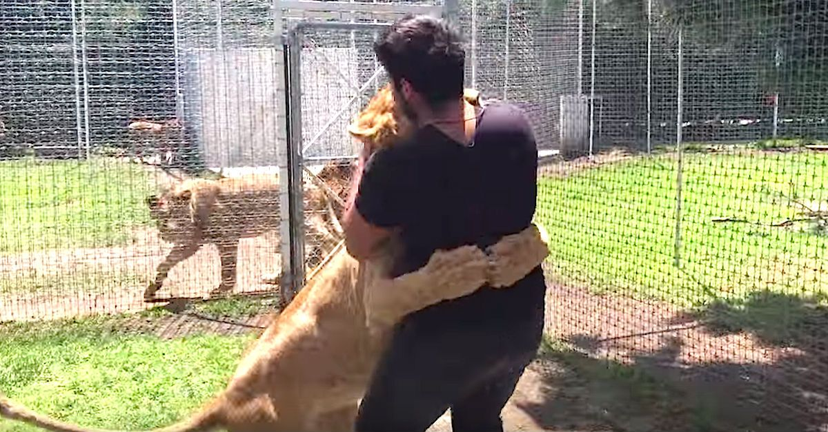 "Rescued Lion Freaks Out When She's Reunited With Her First ""Dad"" via LittleThings.com"