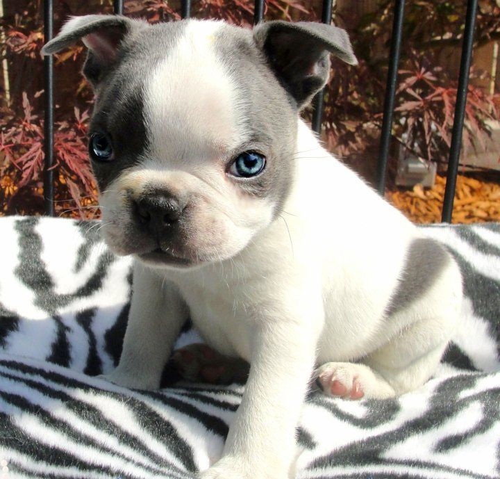 Baby Boston Terrier Love The Color And Eyes