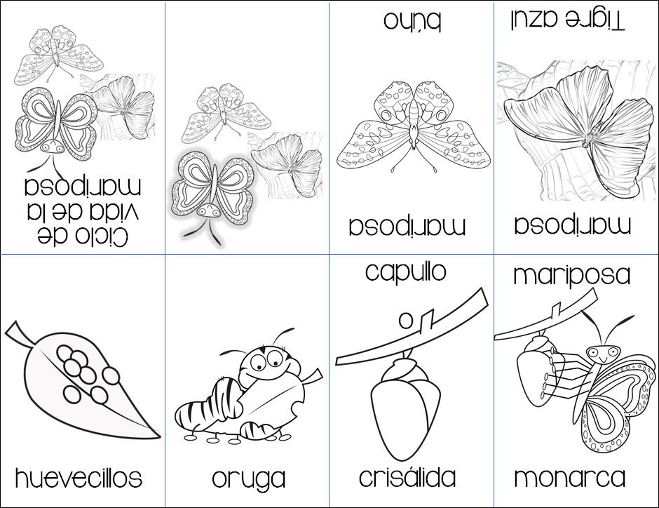 Excelente mini libro del ciclo de vida de las mariposas   Educación ...