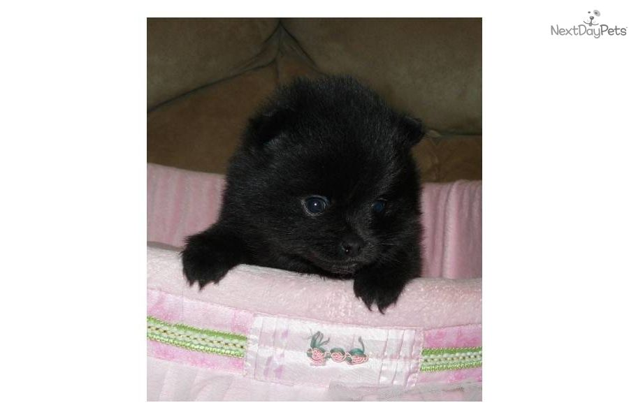 Bella Pomeranian Puppy For Sale Near Springfield Missouri