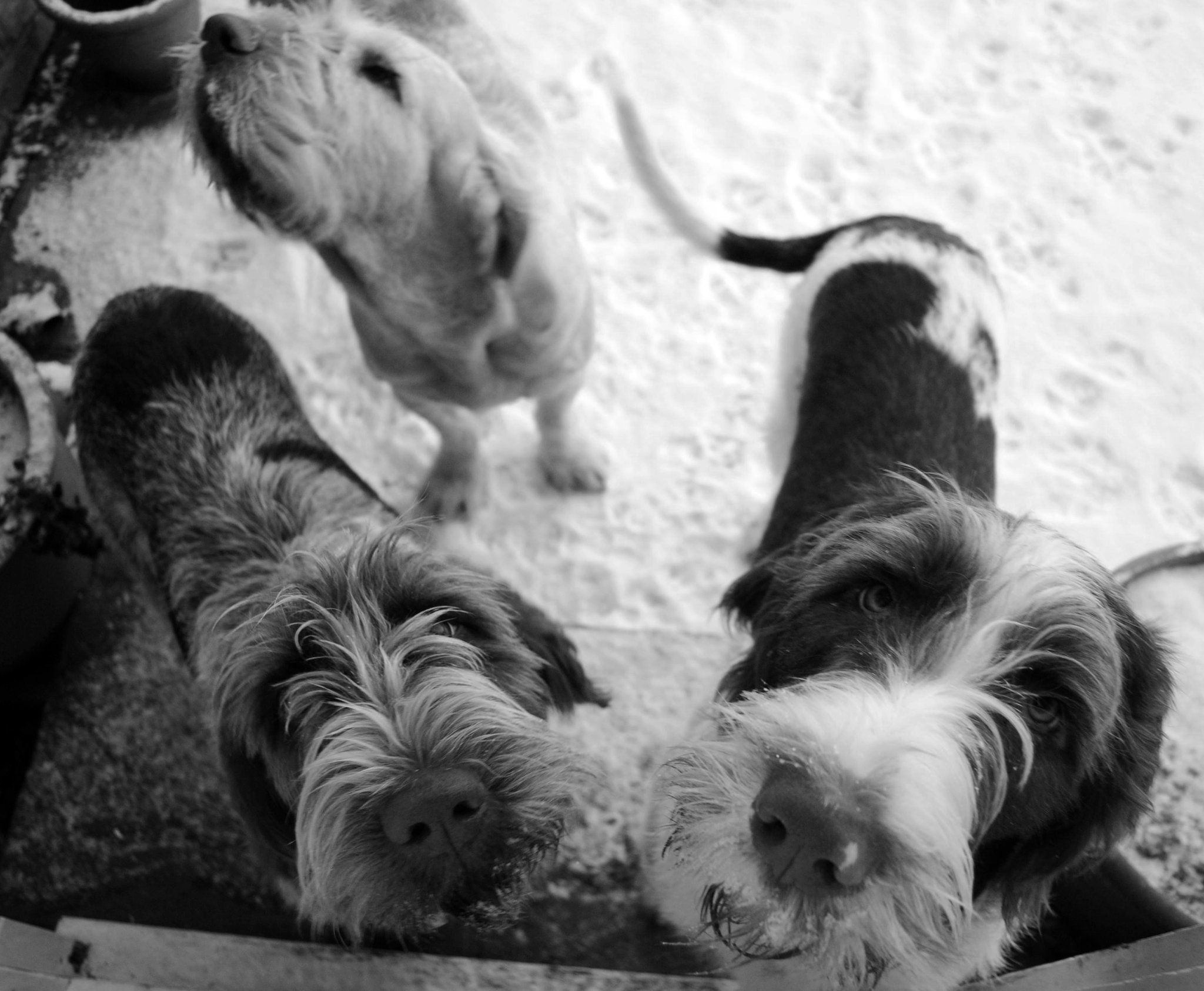 Image of italian spinone brown roan young puppy blue sitting cute - Snowy Italian Spinoni