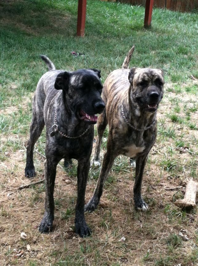 Daizy And Bridget Mastiff Shepherd Mix Honden