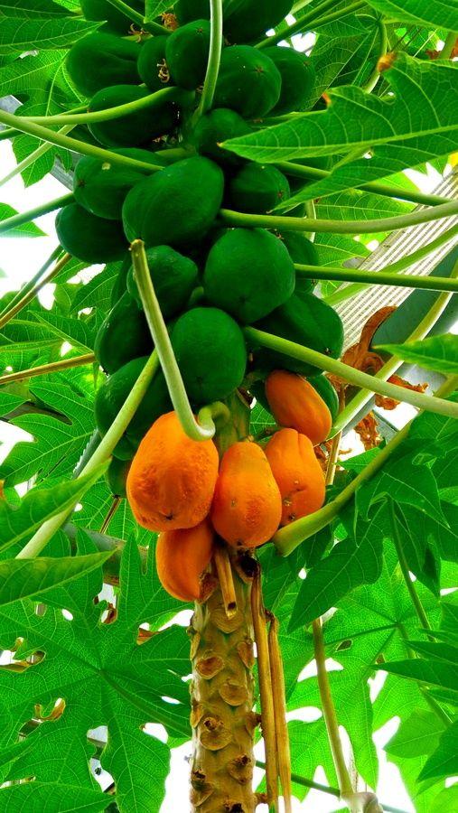 Orange Green Papaya Tree Tropical Fruits Fruit
