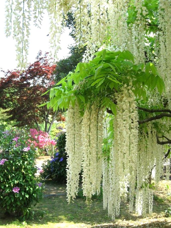 Kawachi Fuji Garden Japan - White wisteria on Thanks for visiting us ...