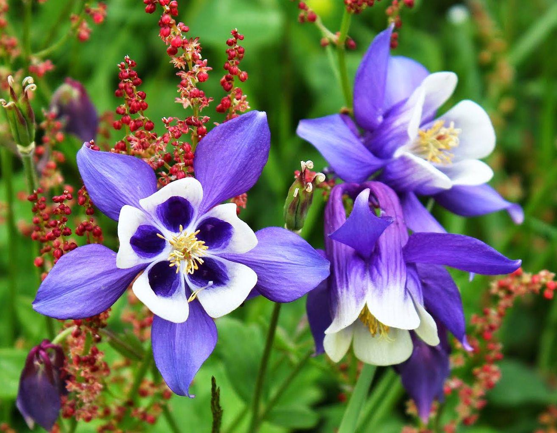 Columbine songbird blue jay aquilegia x hybrida flowers columbine songbird blue jay aquilegia x izmirmasajfo Gallery