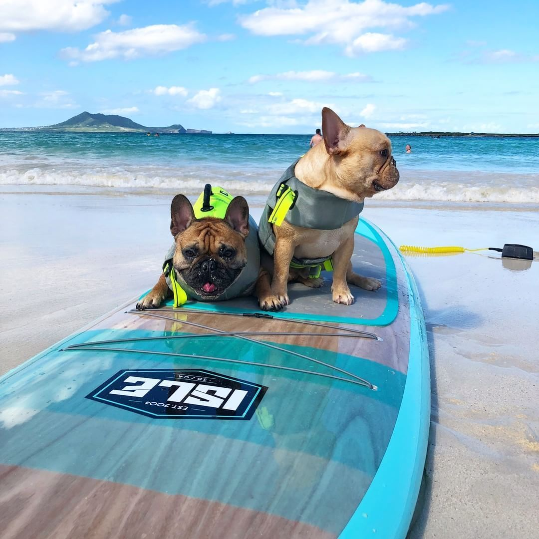 Couple Of Spuds Livin The Island Life French Bulldogs