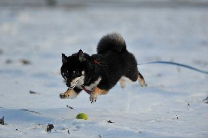 犬 飛び - Google 検索