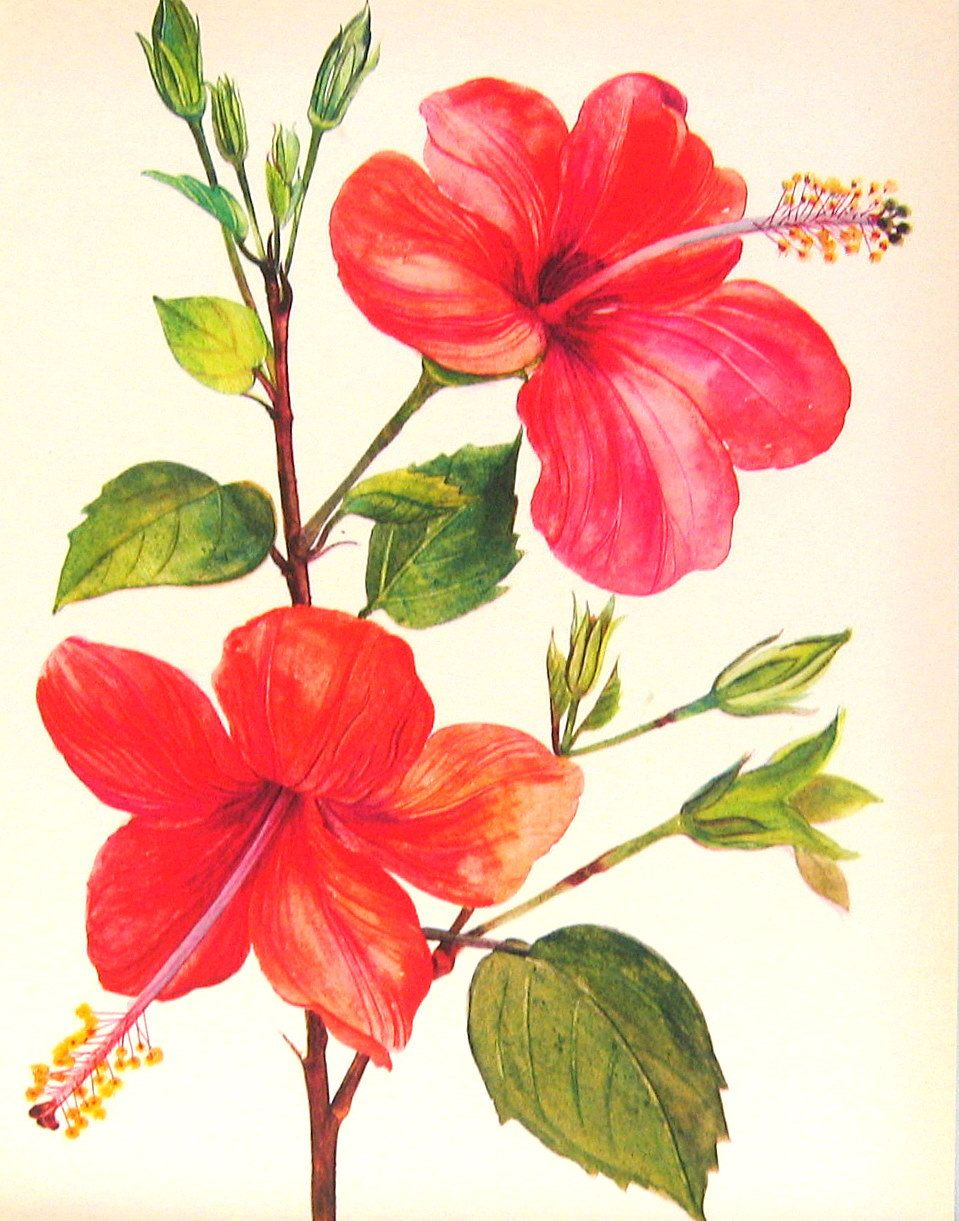 Hibiscus flower botanical print google search dvme pinterest hibiscus flower botanical print google search izmirmasajfo