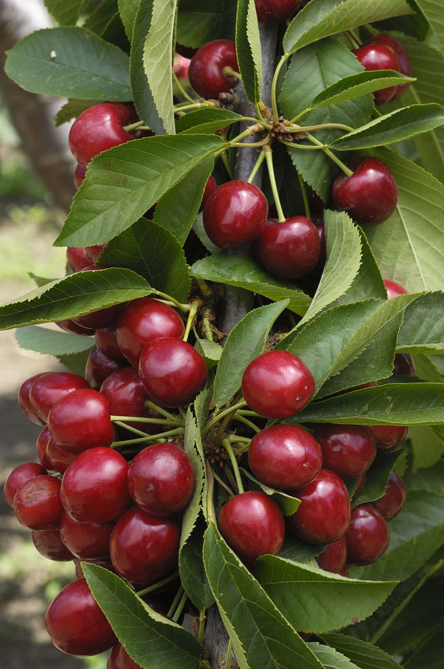 lapins cherry tree at backyard fruit fruit trees pinterest