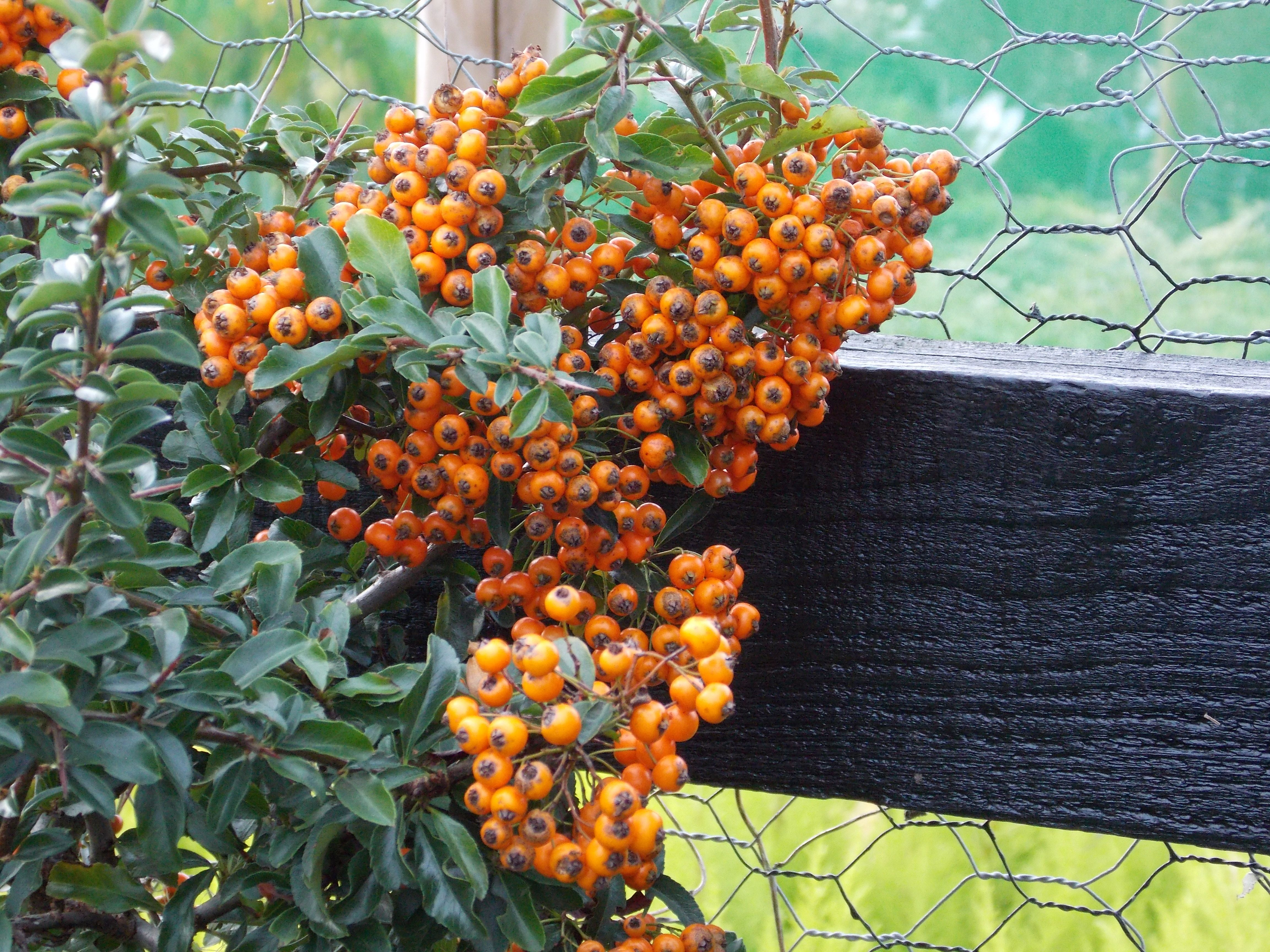 Pyracantha Coccinea Shrub Named Teton Grows Grows To 12 Feet High And 4 Feet Wide With Golden Yellow Berries Plants Shrubs Hedges