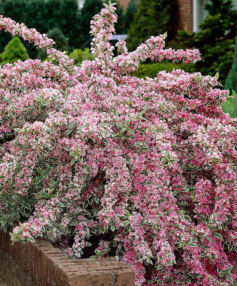 Piante Perenni Da Fiore bunte weigelie 'variegata' | giardini perenni, arbusti da