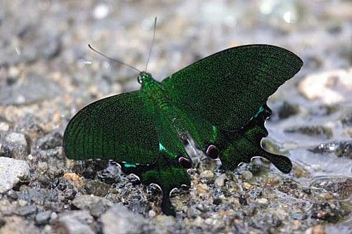Papilio paris, Indonesia, Sumatra