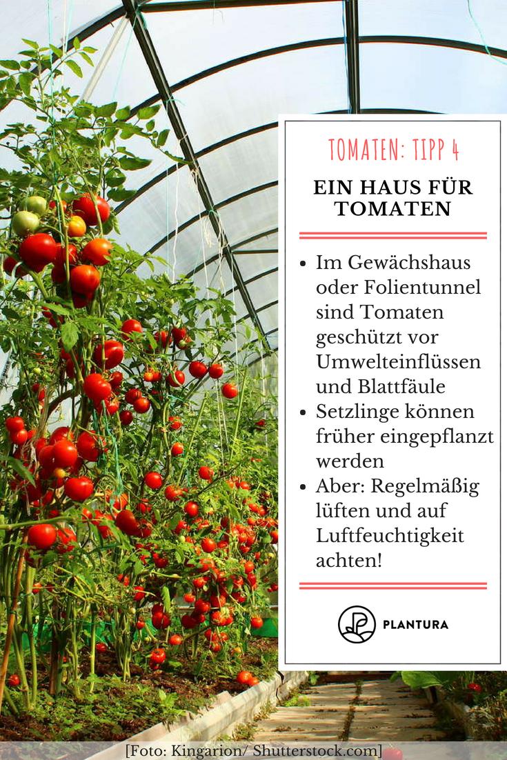 10 Tipps Zur Perfekten Tomate Aus Dem Eigenen Garten Tomaten Tipp 4 Ein Haus Fur Tomaten In Einem Gewachshaus Oder Folientun Garten Pflanzen Garten Pflanzen