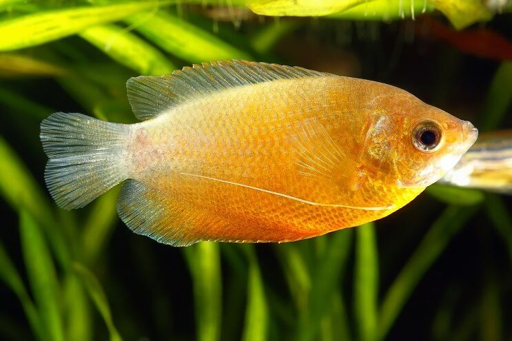 Honey Dwarf Gourami Freshwater Fish Fresh Water Colorful Fish