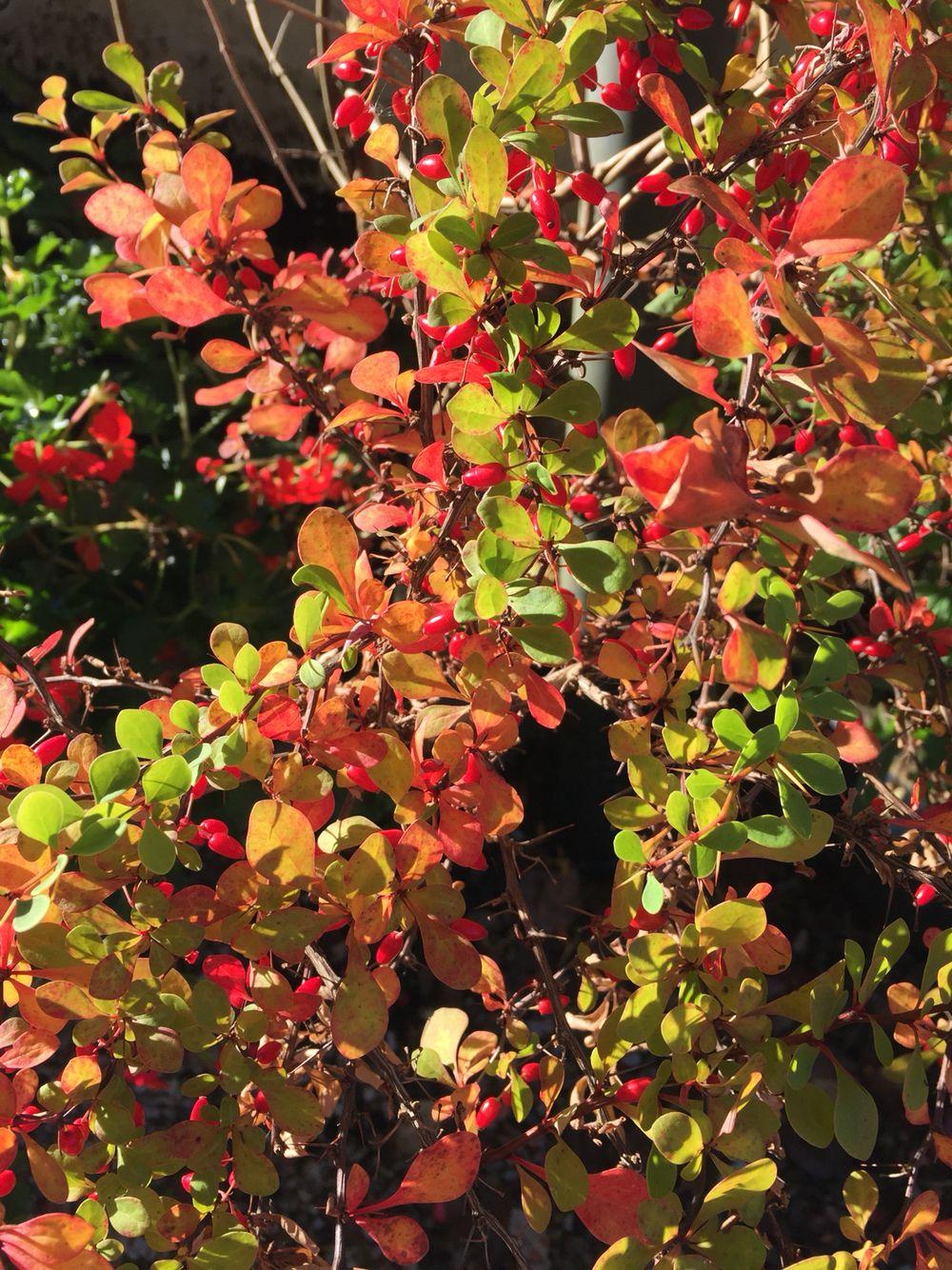Wonderful autumn colors in my garden Margeritten 10/5/15 by Inger Johanne